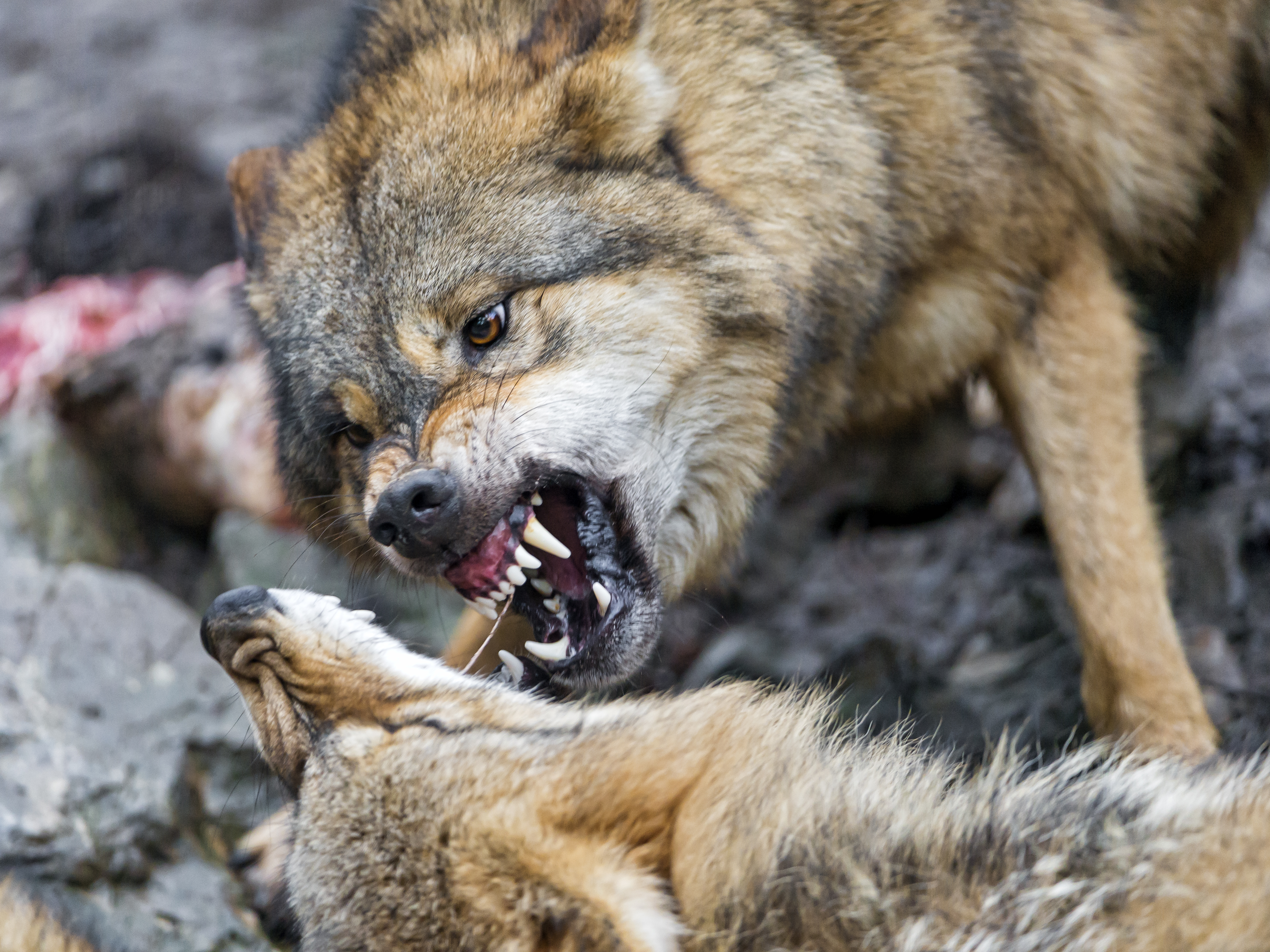 wolves_part1