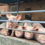 Über Hunde, Schweine und moralische Schizophrenie